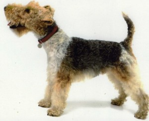 wire-fox-terrier-53025ec592077